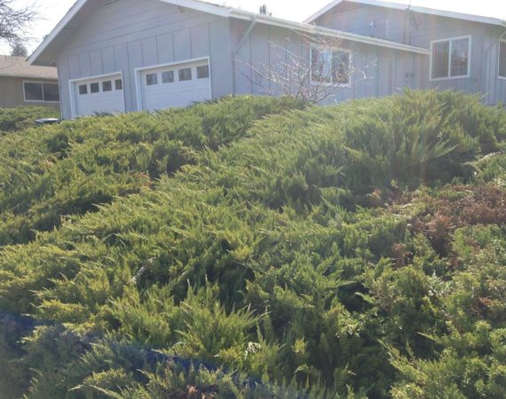 Bush Trimming Before – ELN Klamath Falls Sprinklers and Yard Maintenance
